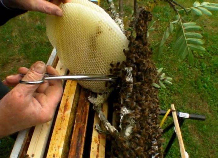 Récupérer un essaim d'abeilles