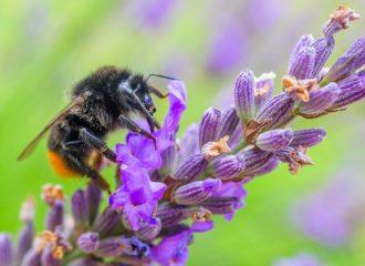 Les apiculteurs envoient des graines pour sauver les abeilles